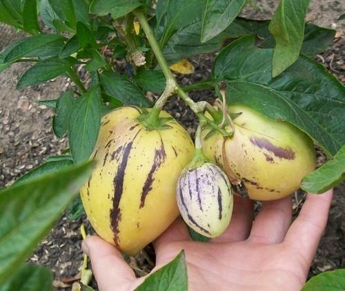 Как выглядит фрукт пепино