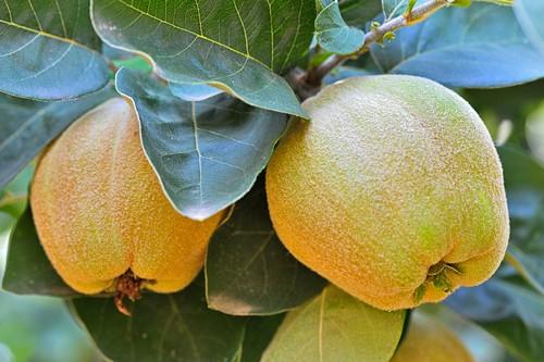 Айва плод
