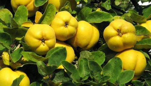 Айва фрукт