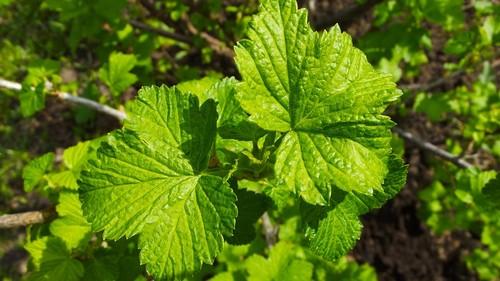 лист черной смородины
