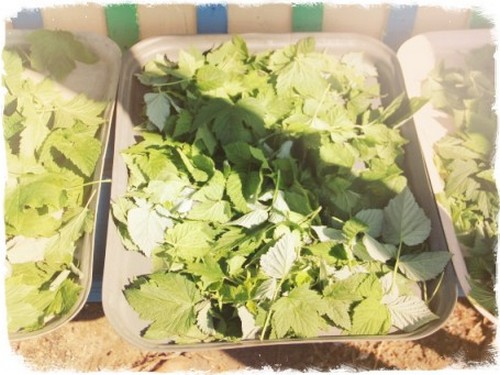 Листья сушеной смородины