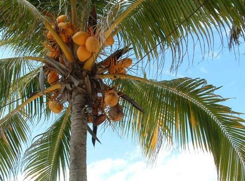 Что представляет собой кокос