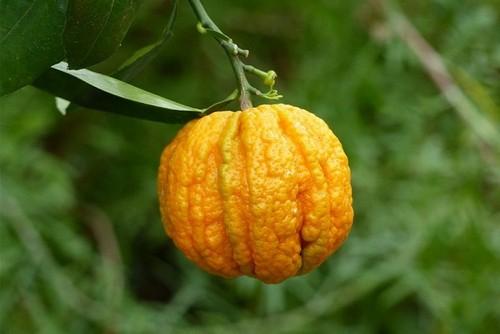 Горький апельсин померанец плод