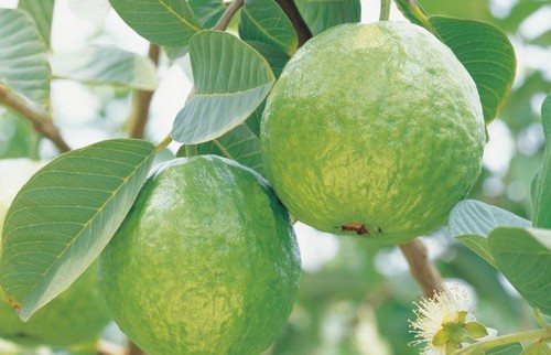 Гуава египетская плод