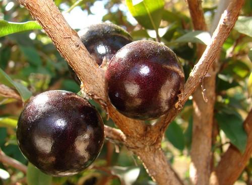 Жаботикаба (виноградное дерево)