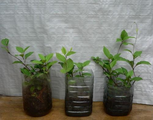 Выращивание лимонника китайского