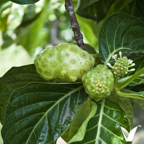 Нони плод