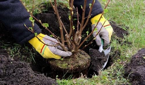 Агротехнические особенности выращивания черевишни на даче