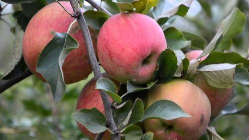 Выращивание яблок Антоновка в Сибири