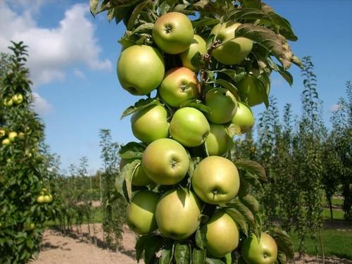 Срок созревания плодов