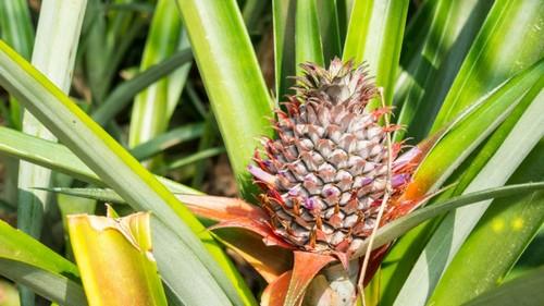 Как и где растут ананасы в природе