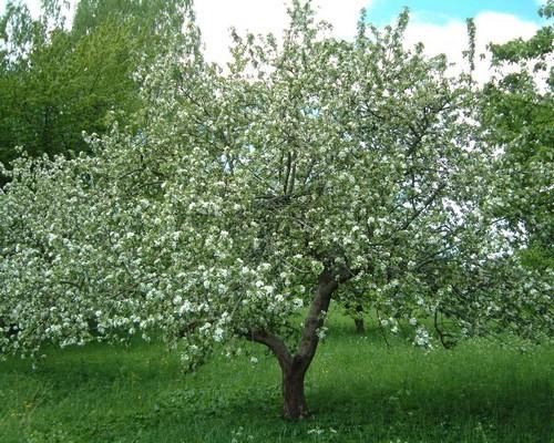 Цветение и плодоношение яблонь Антоновка