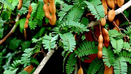Тамаринд дерево