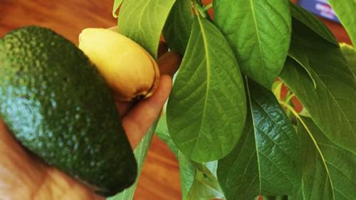 Плодоношение авокадо, выращенного из косточки