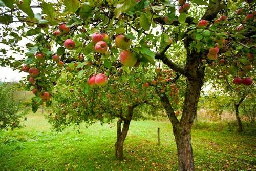 Ширина кроны яблони Антоновка