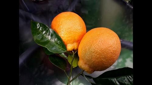 На что похож минеола фрукт