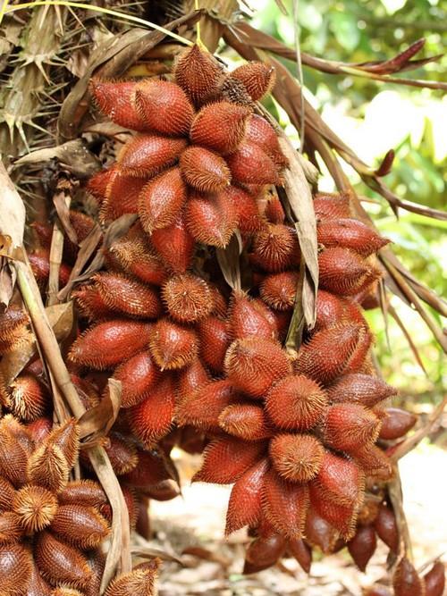 Салак пальма