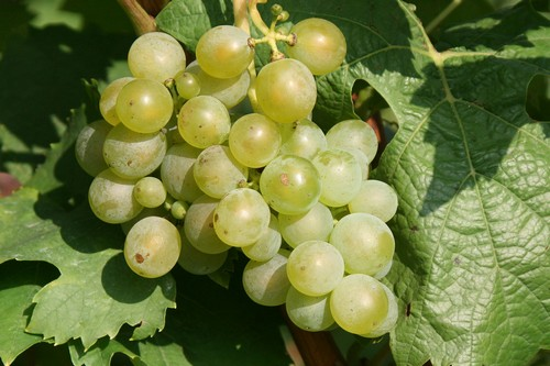 Белый спелый виноград