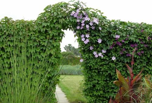 Девичий виноград-арка