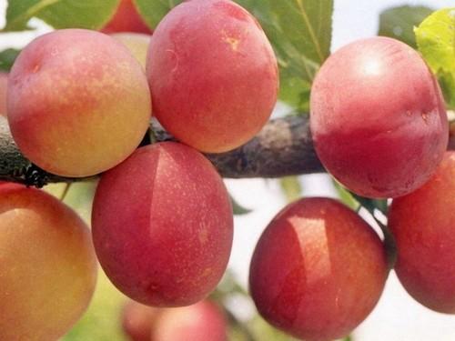 Персиковая слива Мичурина