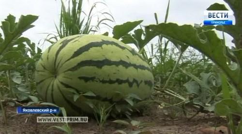 Урожай арбузов в Приморье