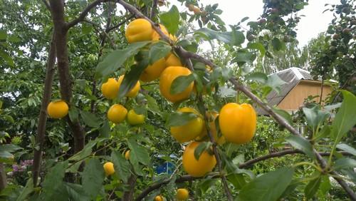 Слива абрикосовая спелая