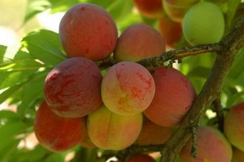 Слива персиковая Мичурина