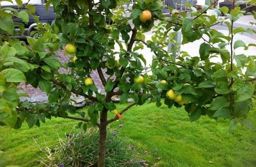 Яблоня из семечки