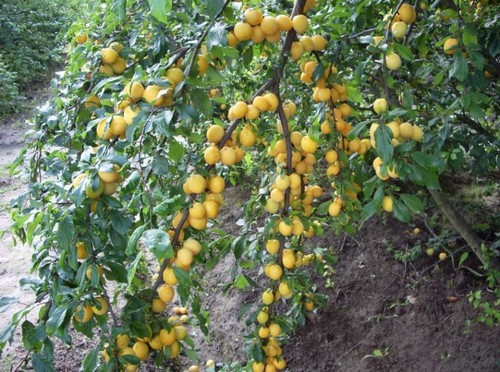 Желтая слива дерево