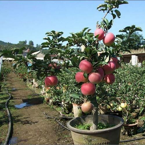 Яблоня из косточки