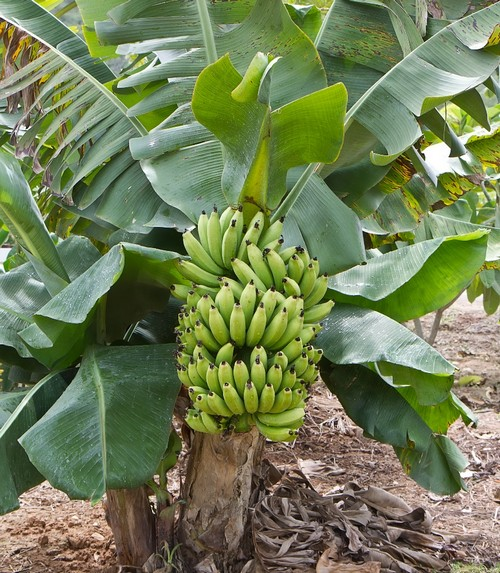 Бананы в открытом грунте