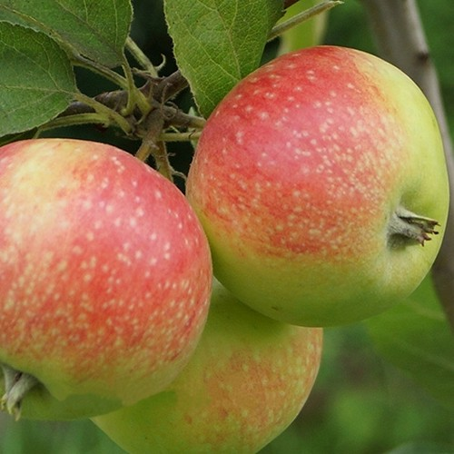 Яблоня Елена спелое