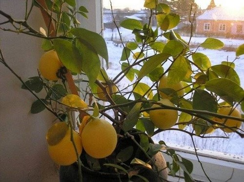 Листья лимона опадают