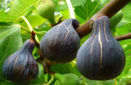Секреты выращивания инжира