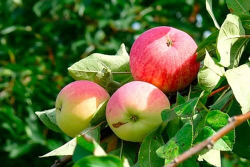 Яблоня Средней полосы